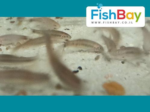 דגי נוי לבריכה גרה רופה