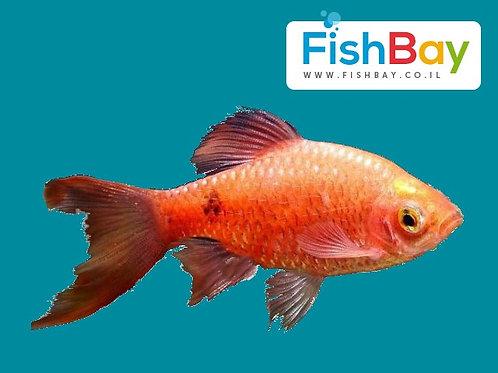 דג בריכה אוכל יתושים רוזי בארב
