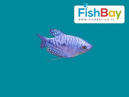 דג גורמי כחול