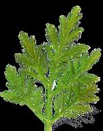 List sladkega pelina
