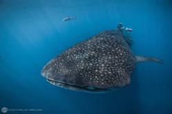 Requin baleine #2