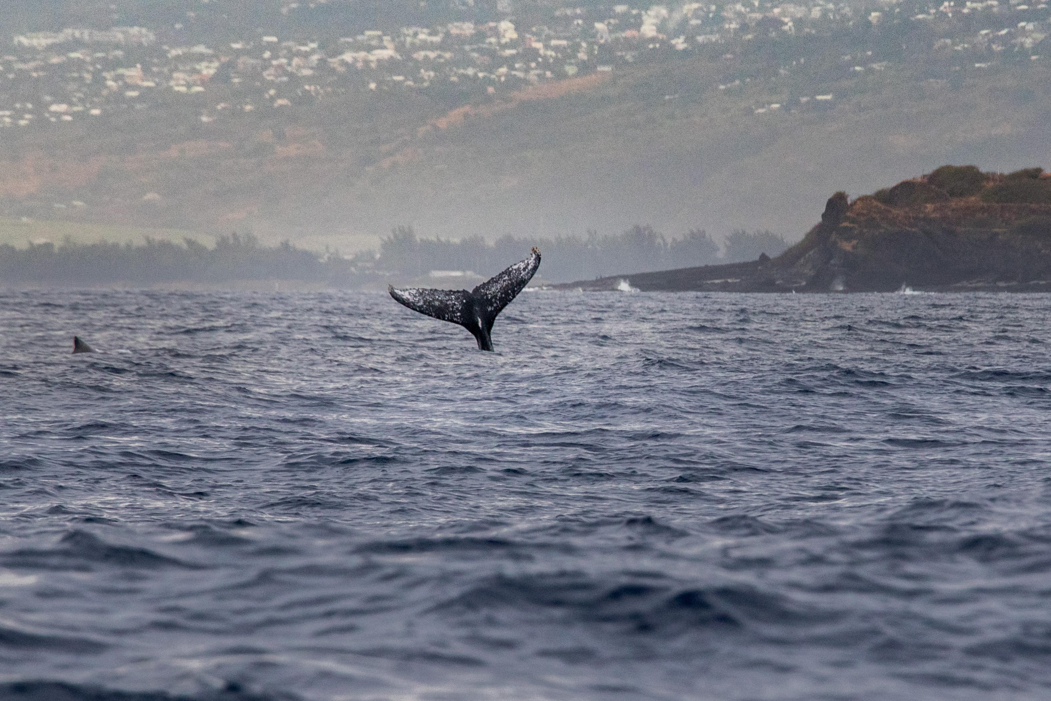 Baleine de la Réunion