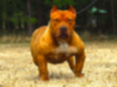 XL extreme rednose american bully female