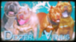 XL Lilac tri pitbulls and chocolate pitbulls