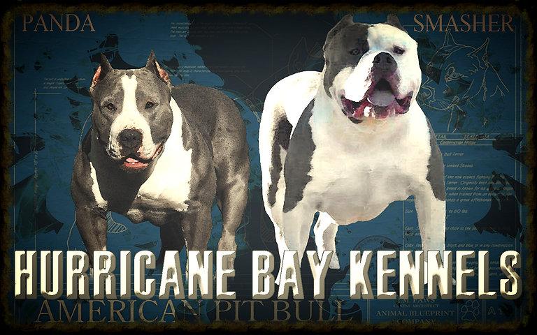 muscular blue pitbulls