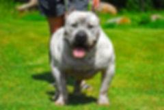 XL extreme pitbull