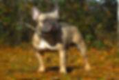 Blue fawn french bulldog stud