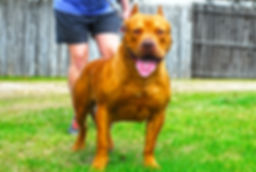 muscular rednose xl bully male