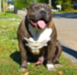 blue brindle xl bully male