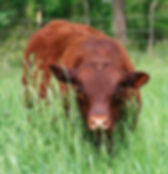 red devon cattle for sale