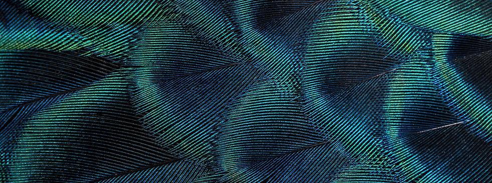 bande plume de paon