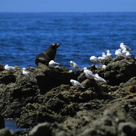 Ohau Point Seal Colony, Kaikoura, South Island