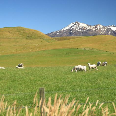 North Island pasture