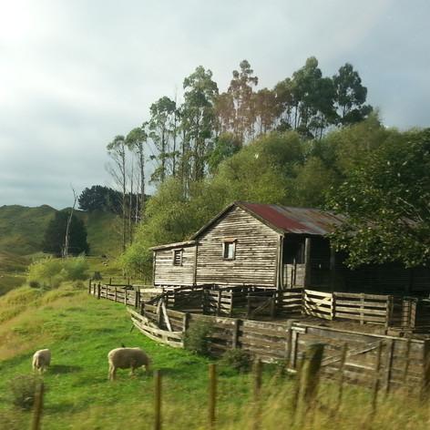 Sheep and shed at Manawatu