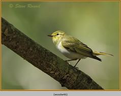 wood-warbler-46.jpg