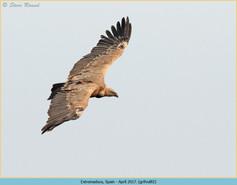 griffon-vulture-82.jpg