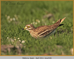stone-curlew-18.jpg