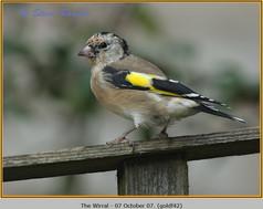 goldfinch-42.jpg