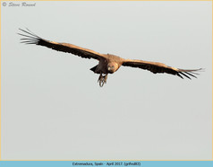 griffon-vulture-83.jpg