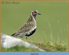 golden-plover-29.jpg
