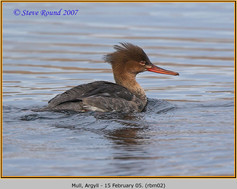 red-breasted-merganser-02.jpg