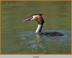 great-crested-grebe-30.jpg