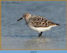 sanderling-79.jpg