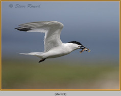 sandwich-tern-21.jpg