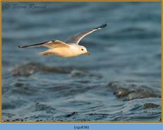 common-gull-38.jpg