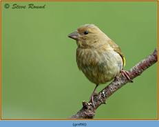 greenfinch-90.jpg