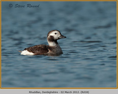 long-tailed-duck-18.jpg