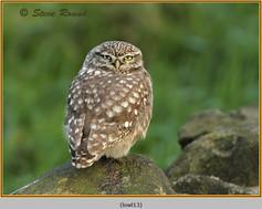 little-owl-13.jpg