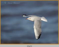 black-headed-gull-53.jpg