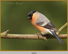 bullfinch-50.jpg