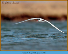 arctic-tern-44.jpg