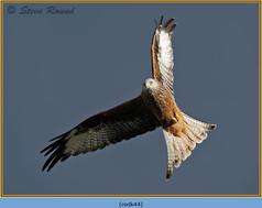 red-kite-44.jpg