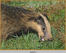 badger-21.jpg