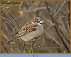 house-sparrow-43.jpg
