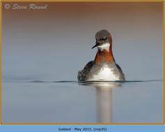 red-necked-phalarope-35.jpg