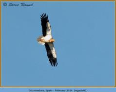 egyptian-vulture-03.jpg