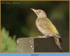 green-woodpecker-12.jpg