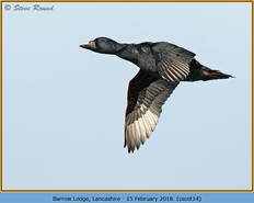 common-scoter-14.jpg