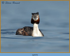 great-crested-grebe-55.jpg