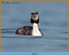 great-crested-grebe-55.jpg