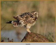 short-eared-owl-46.jpg