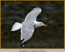 herring-gull-11.jpg