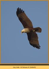 brahminy-kite-05.jpg