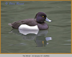tufted-duck-06.jpg