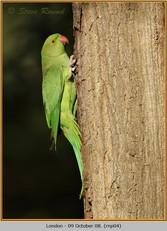 ring-necked-parakeet-04.jpg