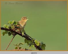 grasshopper-warbler-51.jpg